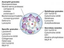 Granular contents of Neutrophils and Platelets