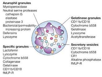 neutrophil granules