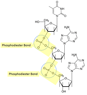 phosphodiester bond