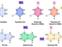Purine and Pyrimidines : Structure, Synthesis and Metabolism