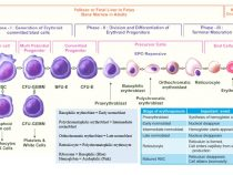 Erythropoiesis Simplified