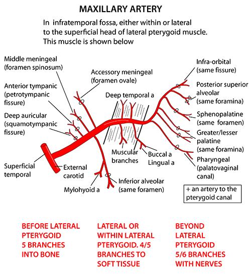 maxillary artery