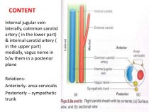 Neurovascular Relations in Anatomy