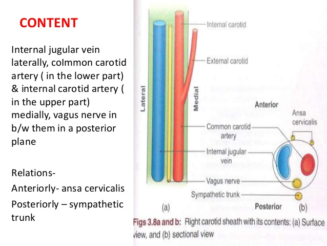 carotid sheath