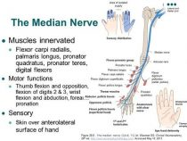 Median nerve – Course and Innervation