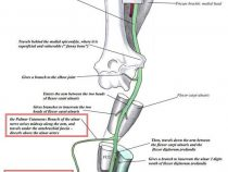 Ulnar nerve – Course and Innervation