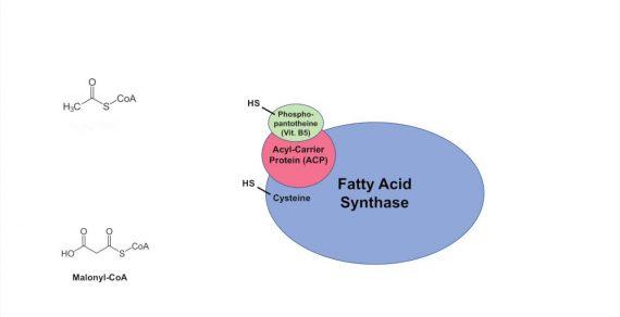 FA synthase