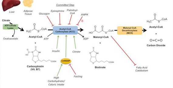 Fatty Acid Synthesis : Simplified