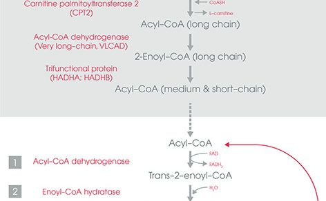Beta-oxidation of Fatty Acids : Simplified