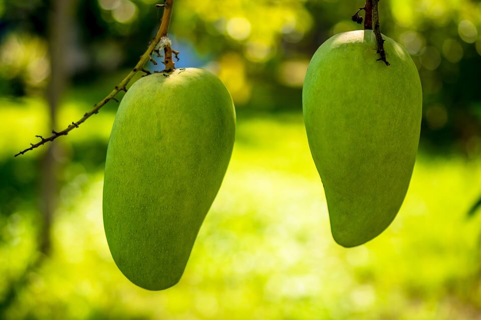 mangoes orexigenic