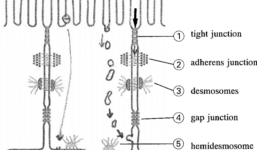 intercellular junctions