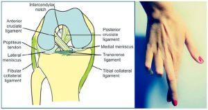 cruciate knee mnemonic
