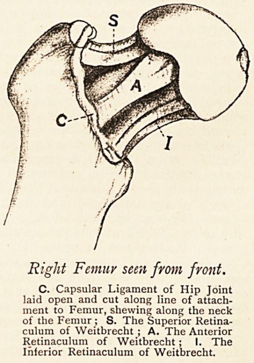 retinacula of weitbrecht