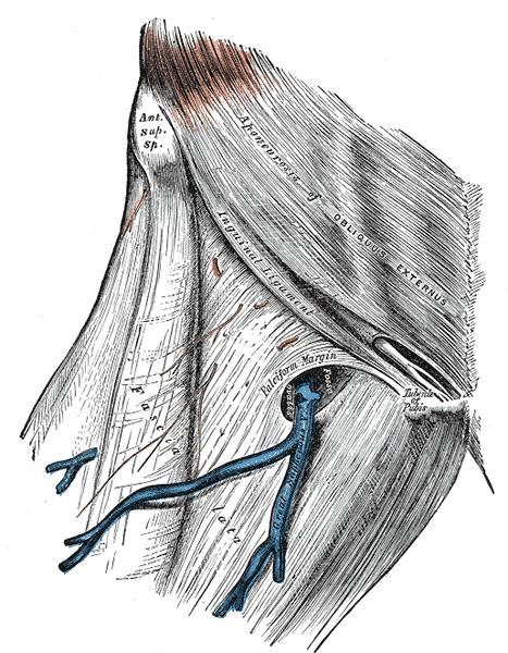fascia lata