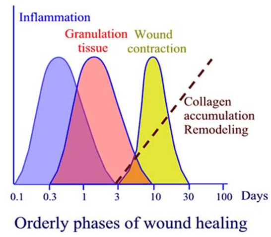 wound healing phases