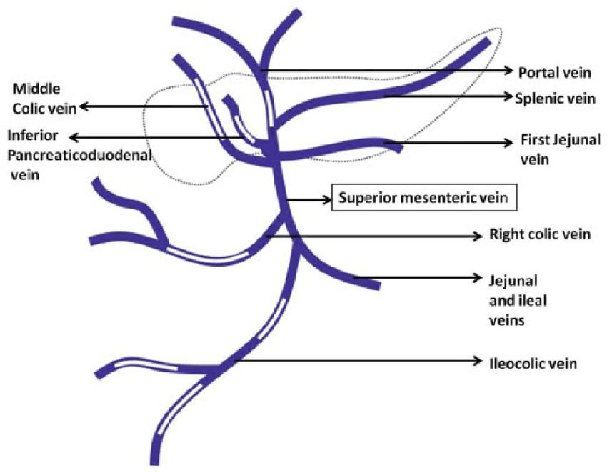 portal vein schematic