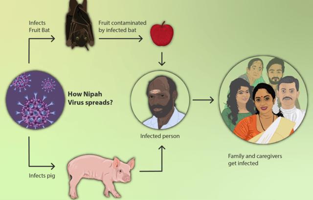 nipah virus spread