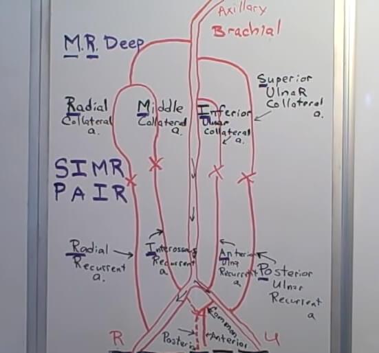 elbow anastomoses mnemonic