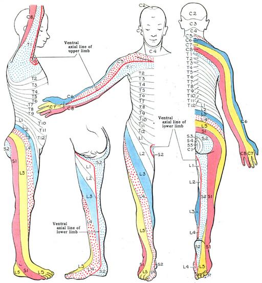 dermatome map